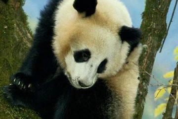 Talking Bruce the Panda kostenlos für Apple iPhone und iPad