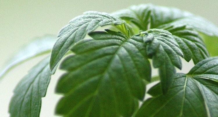 Bud Farm Grass Roots Cheats Hacks Tipps